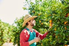 Hombre del granjero que cosecha naranjas en un árbol anaranjado Imagen de archivo libre de regalías