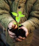 Hombre del jardinero que sostiene el árbol joven verde con el suelo Imagen de archivo libre de regalías