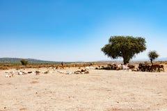 Hombre del Masai con la manada de ganado, Serengeti, Tanzania, África fotos de archivo libres de regalías