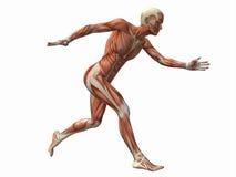 Hombre del músculo Foto de archivo libre de regalías