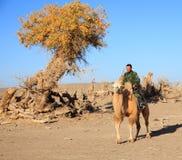 hombre en camello en otoño del desierto Fotos de archivo