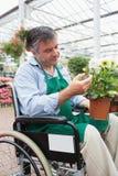 Hombre en la silla de ruedas que toca y que admira la planta en conserva Fotografía de archivo libre de regalías