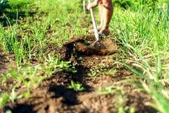 Hombre en un jardín de la cebolla que cultiva un huerto con una azada fotografía de archivo