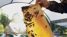 Hombre joven del apicultor que lleva a cabo el marco de madera con las abejas para comprobar mientras que trabaja en colmenar Fotografía de archivo