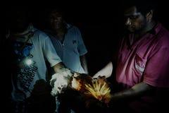 hombre local que examina y que limpia el pollo salvaje en la noche que fue tirada con una catapulta durante el día foto de archivo