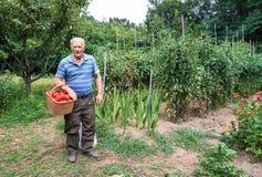 Hombre mayor con una cesta de tomates Imagen de archivo libre de regalías