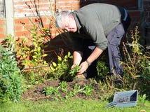 Hombre mayor que planta nuevas plantas de semillero. Imagen de archivo libre de regalías
