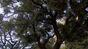 Hombre ocupado en árbol enorme cercano relajante del traje clásico y el hablar en el teléfono, panorama almacen de metraje de vídeo