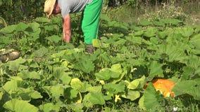 Hombre orgánico del granjero que corta la verdura madura del calabacín en campo de granja 4K almacen de video
