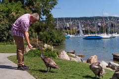 Hombre que alimenta cisnes adolescentes Fotografía de archivo libre de regalías