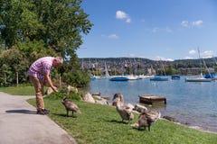 Hombre que alimenta cisnes adolescentes Imágenes de archivo libres de regalías