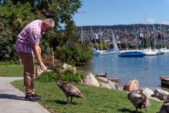 Hombre que alimenta cisnes adolescentes Fotos de archivo libres de regalías