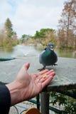 Hombre que alimenta una paloma Foto de archivo libre de regalías