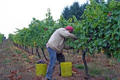 Hombre que cosecha las uvas Foto de archivo libre de regalías