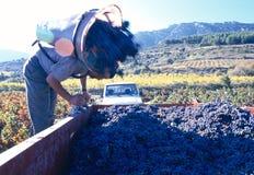 Hombre que cosecha las uvas Imagen de archivo libre de regalías