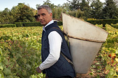 Hombre que cosecha las uvas. Imágenes de archivo libres de regalías