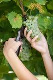 Hombre que cosecha las uvas Fotografía de archivo