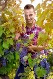 Hombre que cosecha las uvas Fotografía de archivo libre de regalías