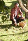 Hombre que recoge manzanas de la tierra Imagen de archivo libre de regalías