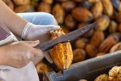 hombre que sostiene una fruta madura del cacao con las habas dentro y traer las semillas imagen de archivo libre de regalías