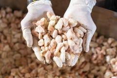 hombre que sostiene una fruta madura del cacao a disposición Después de quitar las semillas del cacao de las vainas del cacao imagen de archivo
