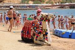 Hombre que toma imágenes con el camello Foto de archivo