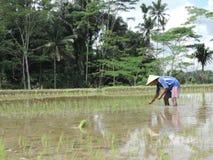 Hombre que trabaja en los ricefields en Indonesia foto de archivo libre de regalías