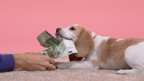 Hombre que trata el perrito juguetón con los billetes de banco euro falsificados, broma, lento-MES del beagle almacen de metraje de vídeo