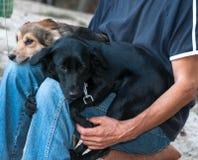 Hombre sittting y que sostiene los perros que se acurrucan y que presionan el uno al otro en parque imagenes de archivo