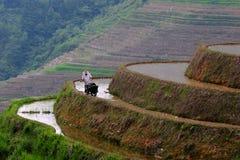 Hombre y búfalo que trabajan en terraza del arroz Fotografía de archivo libre de regalías