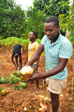 Hombres africanos que recogen los cocos Fotografía de archivo libre de regalías