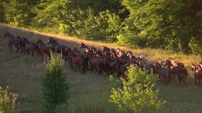 Hombres en caballos y la manada almacen de metraje de vídeo