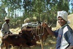 Hombres etíopes y vacas que trillan el grano cosechado Imagenes de archivo
