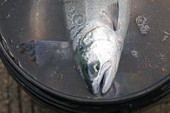 Hombres que pescan para los pequeños salmones de coho de la primavera Imagen de archivo