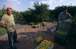 Hombres que trabajan en una arboleda anaranjada, Palestina Imagenes de archivo