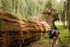 Hombres que van de excursión a lo largo de árbol caido de la secoya Imagenes de archivo