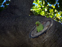 Home. A Rose-ringed parakeet (Psittacula krameri) discovers not every home is a perfect fit. Text space left Royalty Free Stock Photography