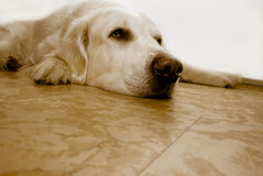 Home alone. Golden retriever lying on ground with melancholy expression stock photography