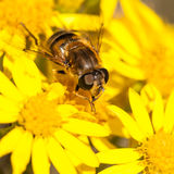 At Home Amongst The Ragwort Royalty Free Stock Image