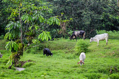 Home animals are eating green grass next to the forest. Green color of nature and wild forest in the background. SOuth America Royalty Free Stock Photography