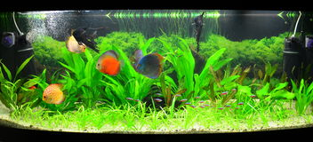 Home aquarium with discus fish and plants