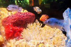 A home aquarium with exotic fishes and multicolored corals Royalty Free Stock Images
