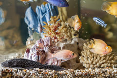 Home aquarium Royalty Free Stock Photos