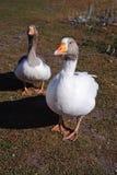Home beautiful bird, goose. Royalty Free Stock Images