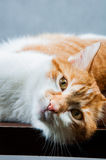 Home beautiful cute cat Royalty Free Stock Images