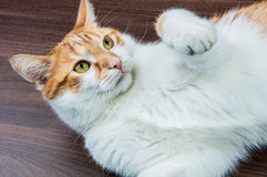 Home beautiful cute cat Royalty Free Stock Image