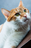 Home beautiful cute cat Royalty Free Stock Photo
