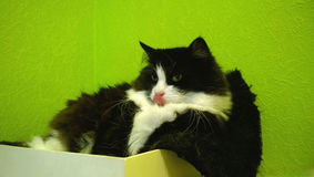 Home beautiful fluffy black and white cat is lying in the small box on green background and licks nose Stock Photos