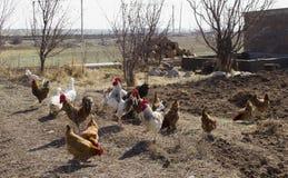Home birdgrazes in dug land Stock Images