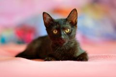 Home black cat in the pink. Cute babe kitten in the bed with pink bedlinen. Wildlife nature royalty free stock photos